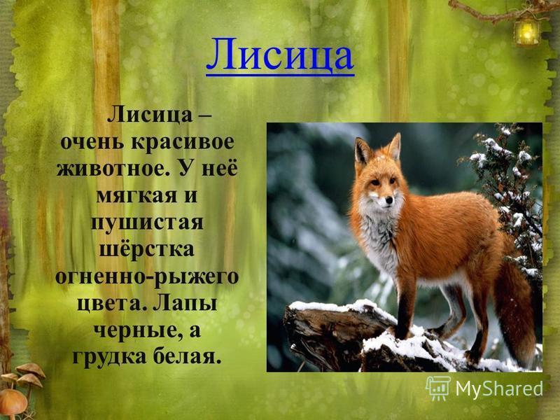 Лисица Лисица – очень красивое животное. У неё мягкая и пушистая шёрстка огненно-рыжего цвета. Лапы черные, а грудка белая.