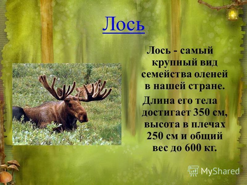 Лось Лось - самый крупный вид семейства оленей в нашей стране. Длина его тела достигает 350 см, высота в плечах 250 см и общий вес до 600 кг.