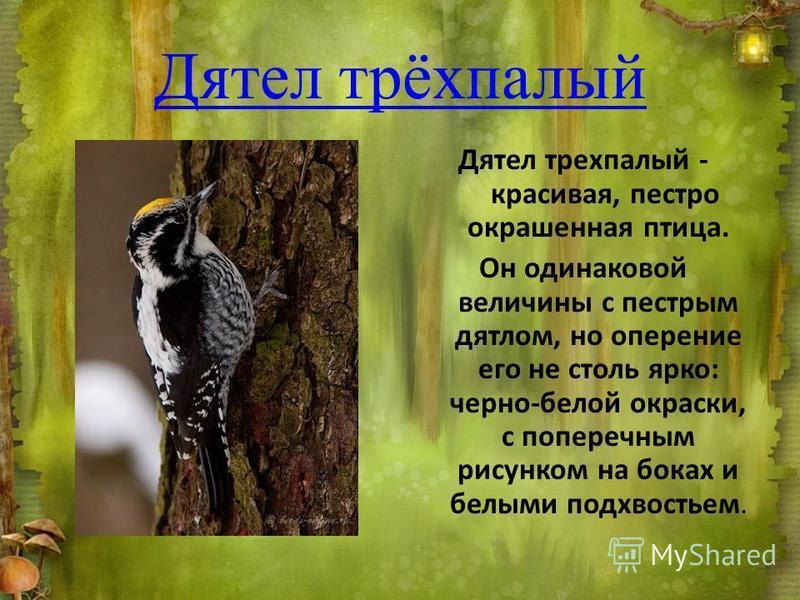 Дятел трёхпалый Дятел трехпалый - красивая, пестро окрашенная птица. Он одинаковой величины с пестрым дятлом, но оперение его не столь ярко: черно-белой окраски, с поперечным рисунком на боках и белыми подхвостьем.