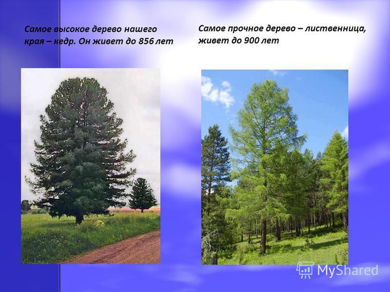 Самое высокое дерево нашего края – кедр. Он живет до 856 лет Самое прочное дерево – лиственница, живет до 900 лет