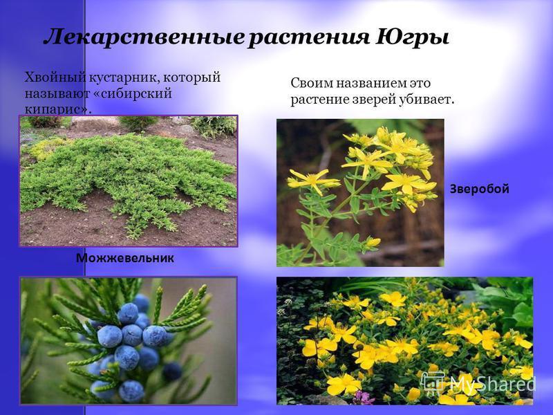 Лекарственные растения Югры Хвойный кустарник, который называют «сибирский кипарис». Можжевельник Своим названием это растение зверей убивает. Зверобой