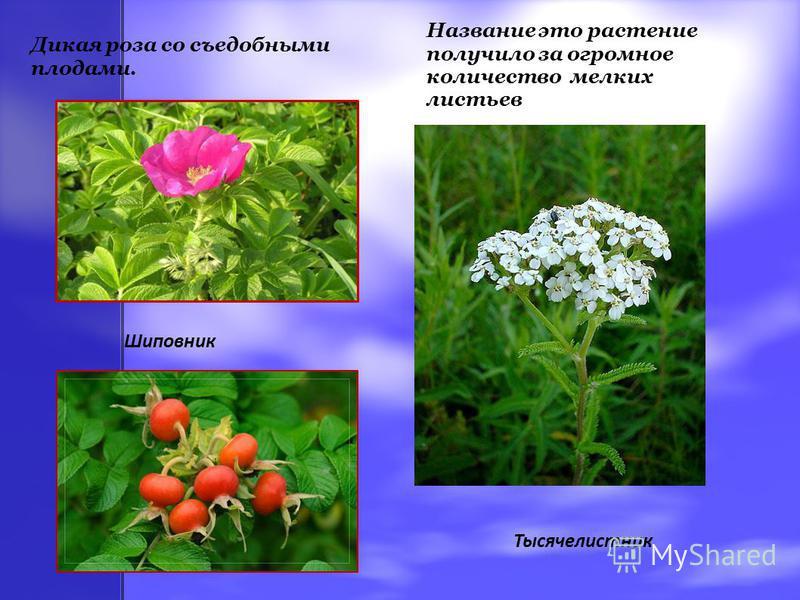 Дикая роза со съедобными плодами. Шиповник Название это растение получило за огромное количество мелких листьев Тысячелистник