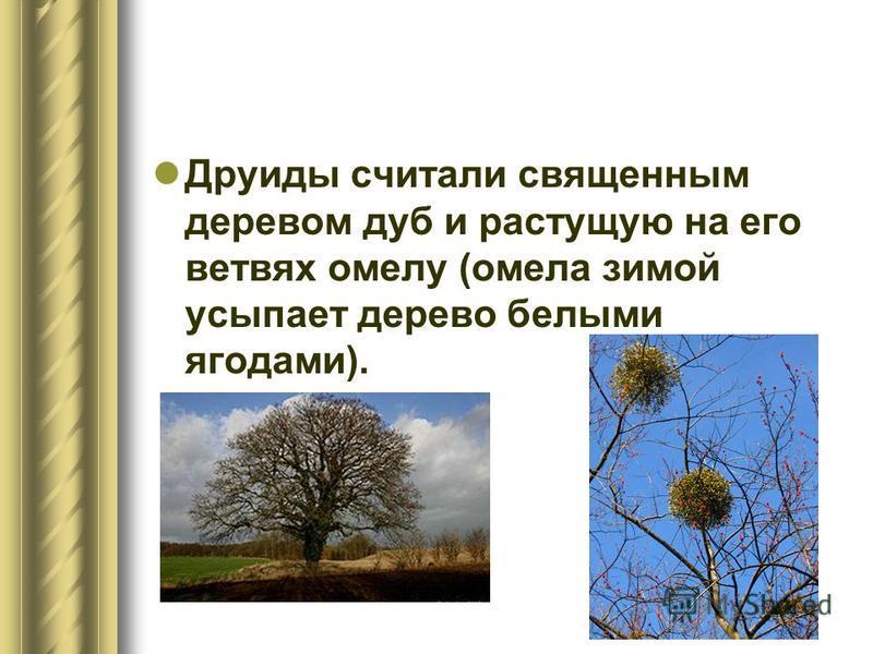 Друиды считали священным деревом дуб и растущую на его ветвях омелу (омела зимой усыпает дерево белыми ягодами).