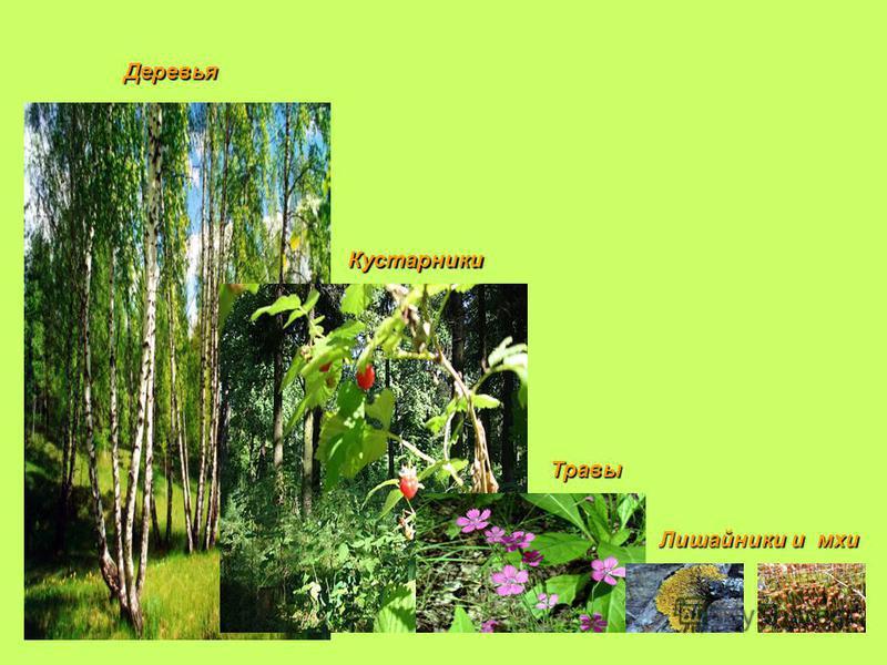 Лишайники и мхи Травы Травы Кустарники Деревья