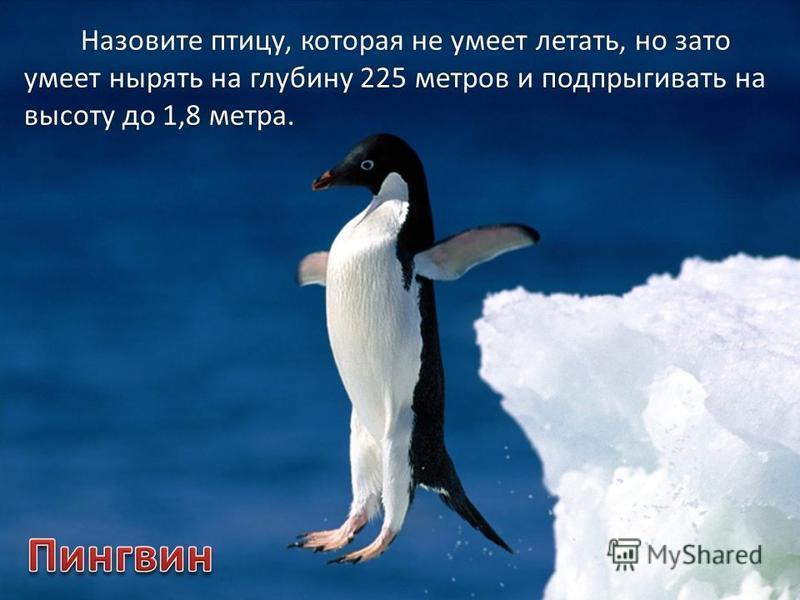 Назовите птицу, которая не умеет летать, но зато умеет нырять на глубину 225 метров и подпрыгивать на высоту до 1,8 метра.