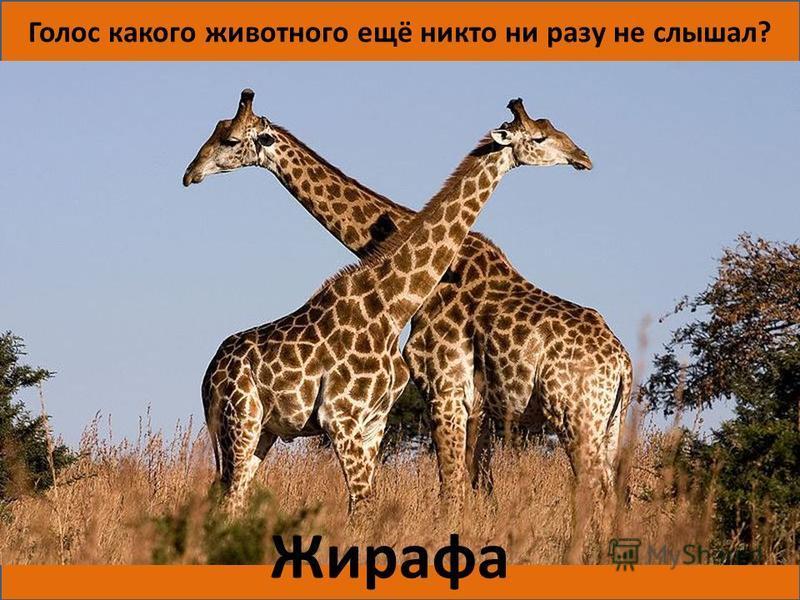 Голос какого животного ещё никто ни разу не слышал? Жирафа