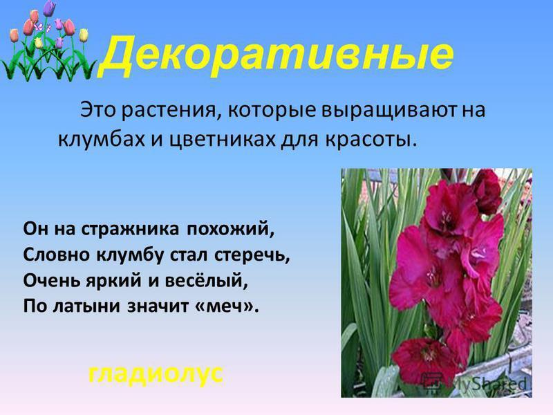 Декоративные Это растения, которые выращивают на клумбах и цветниках для красоты. Он на стражника похожий, Словно клумбу стал стеречь, Очень яркий и весёлый, По латыни значит «меч». гладиолус