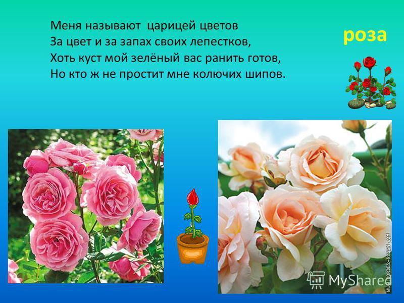 Меня называют царицей цветов За цвет и за запах своих лепестков, Хоть куст мой зелёный вас ранить готов, Но кто ж не простит мне колючих шипов. роза