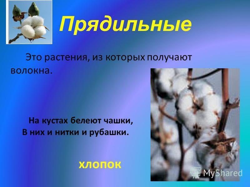 Прядильные Это растения, из которых получают волокна. На кустах белеют чашки, В них и нитки и рубашки. хлопок