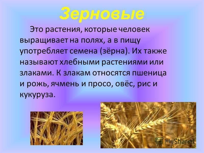 Зерновые Это растения, которые человек выращивает на полях, а в пищу употребляет семена (зёрна). Их также называют хлебными растениями или злаками. К злакам относятся пшеница и рожь, ячмень и просо, овёс, рис и кукуруза.
