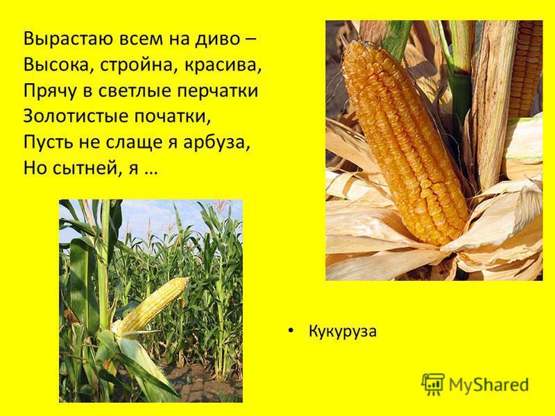 Вырастаю всем на диво – Высока, стройна, красива, Прячу в светлые перчатки Золотистые початки, Пусть не слаще я арбуза, Но сытней, я … кукуруза Кукуруза