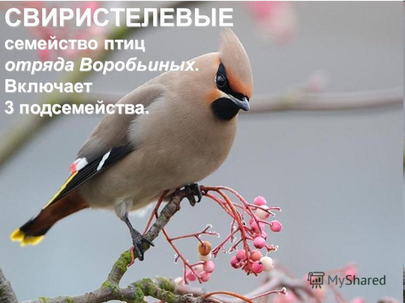 СВИРИСТЕЛЕВЫЕ семейство птиц отряда Воробьиных. Включает 3 подсемейства.