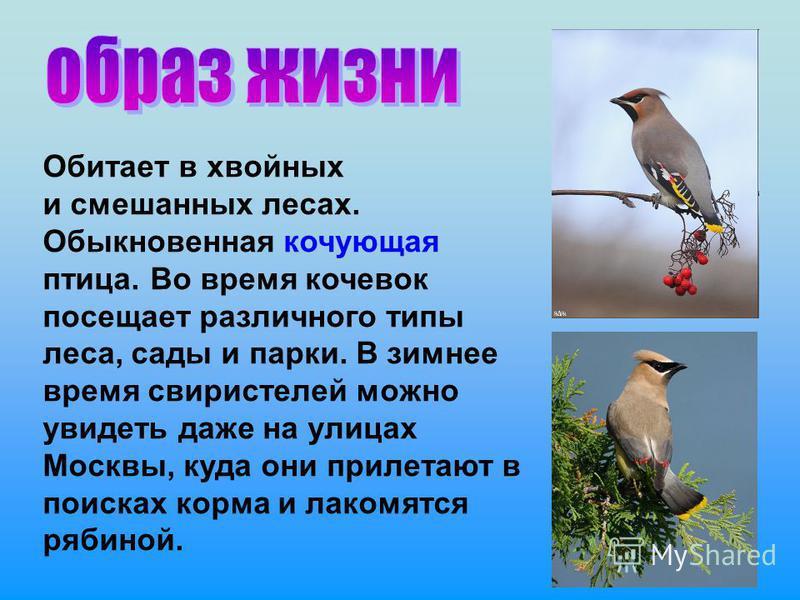 Обитает в хвойных и смешанных лесах. Обыкновенная кочующая птица. Во время кочевок посещает различного типы леса, сады и парки. В зимнее время свиристелей можно увидеть даже на улицах Москвы, куда они прилетают в поисках корма и лакомятся рябиной.