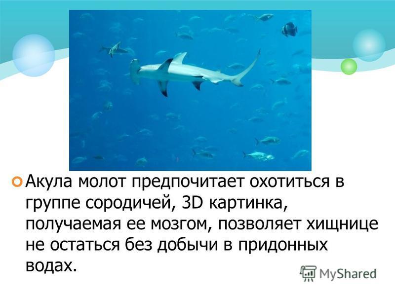 Акула молот предпочитает охотиться в группе сородичей, 3D картинка, получаемая ее мозгом, позволяет хищнице не остаться без добычи в придонных водах.