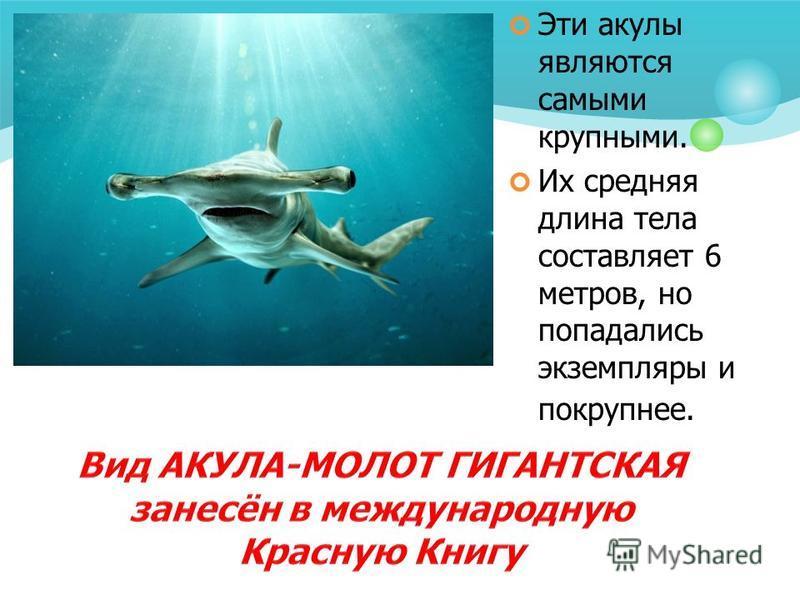 Эти акулы являются самыми крупными. Их средняя длина тела составляет 6 метров, но попадались экземпляры и покрупнее.