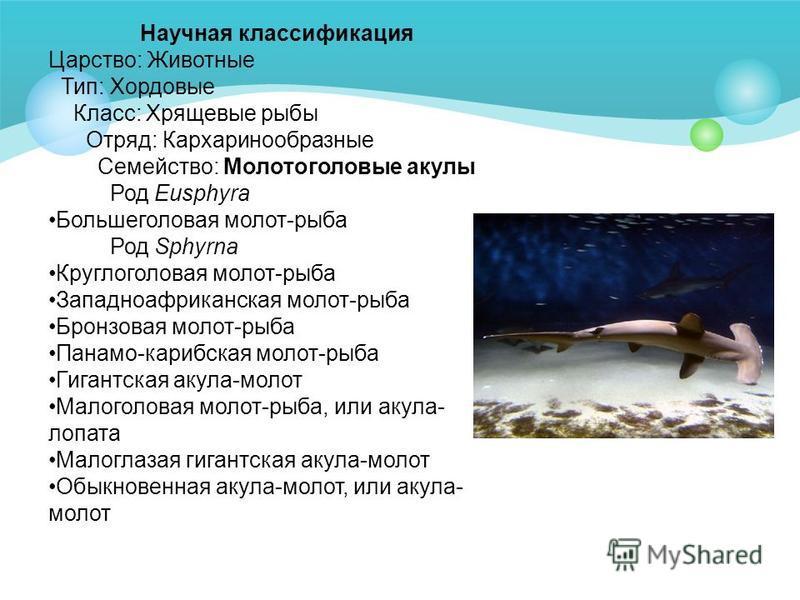 Научная классификация Царство: Животные Тип: Хордовые Класс: Хрящевые рыбы Отряд: Кархаринообразные Семейство: Молотоголовые акулы Род Eusphyra Большеголовая молот-рыба Род Sphyrna Круглоголовая молот-рыба Западноафриканская молот-рыба Бронзовая моло