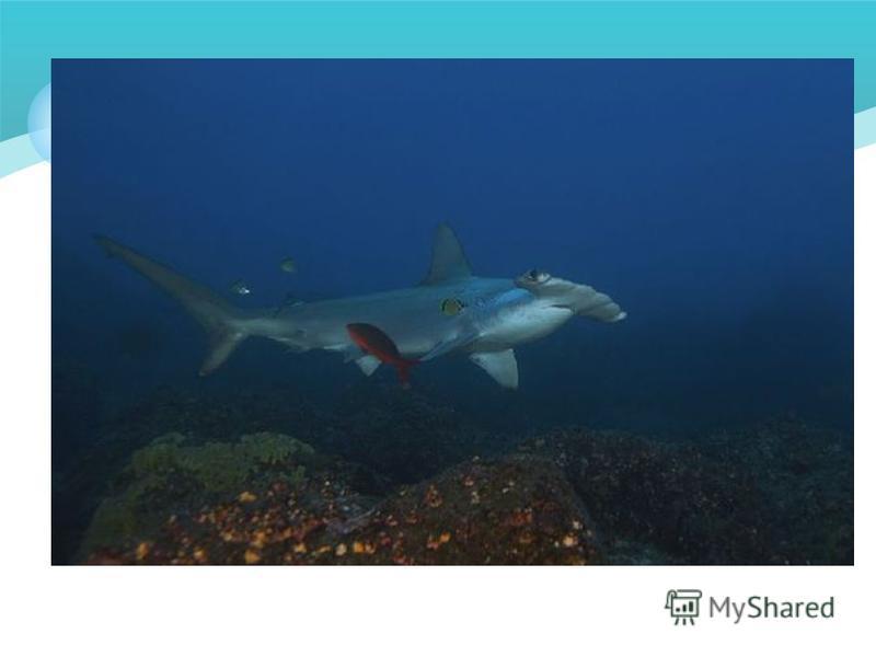 Теория 3. Все акулы обладают шестым чувством - крошечные поры, расположенные у них под подбородком, позволяют им различать мельчайшие электрические токи, вырабатываемые всеми живыми существами. Эти токи распространяются в воде на небольшое расстояние