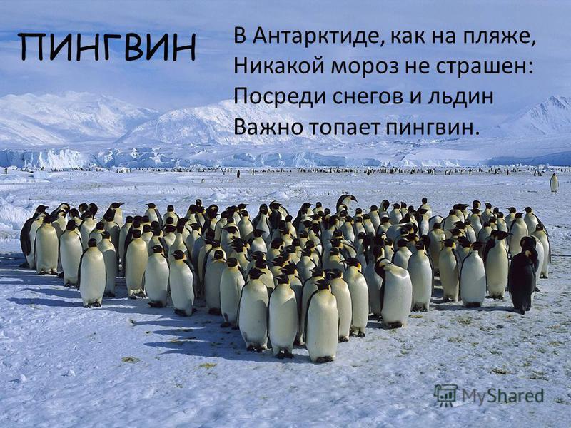 ПИНГВИН В Антарктиде, как на пляже, Никакой мороз не страшен: Посреди снегов и льдин Важно топает пингвин.