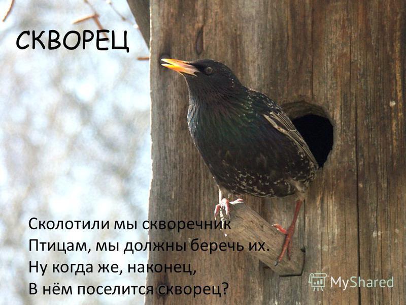 СКВОРЕЦ Сколотили мы скворечник Птицам, мы должны беречь их. Ну когда же, наконец, В нём поселится скворец?