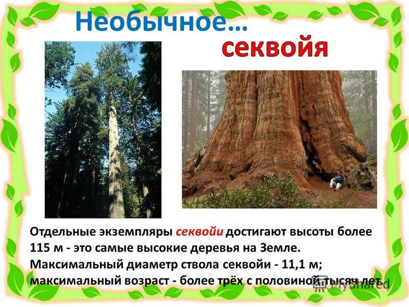 Отдельные экземпляры секвойи достигают высоты более 115 м - это самые высокие деревья на Земле. Максимальный диаметр ствола секвойи - 11,1 м; максимальный возраст - более трёх с половиной тысяч лет. Необычное…