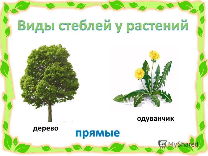 дерево одуванчик
