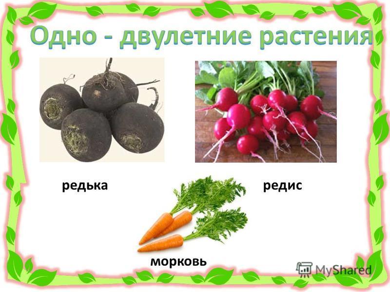 редька редис морковь