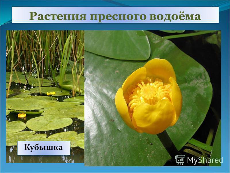 Растения пресного водоёма Кувшинка Белая водяная лилия