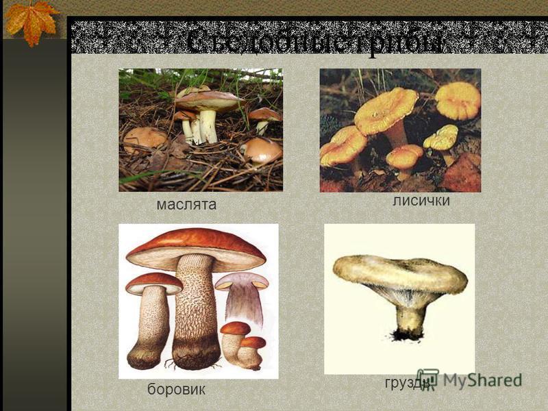 Съедобные грибы маслята боровик лисички груздь