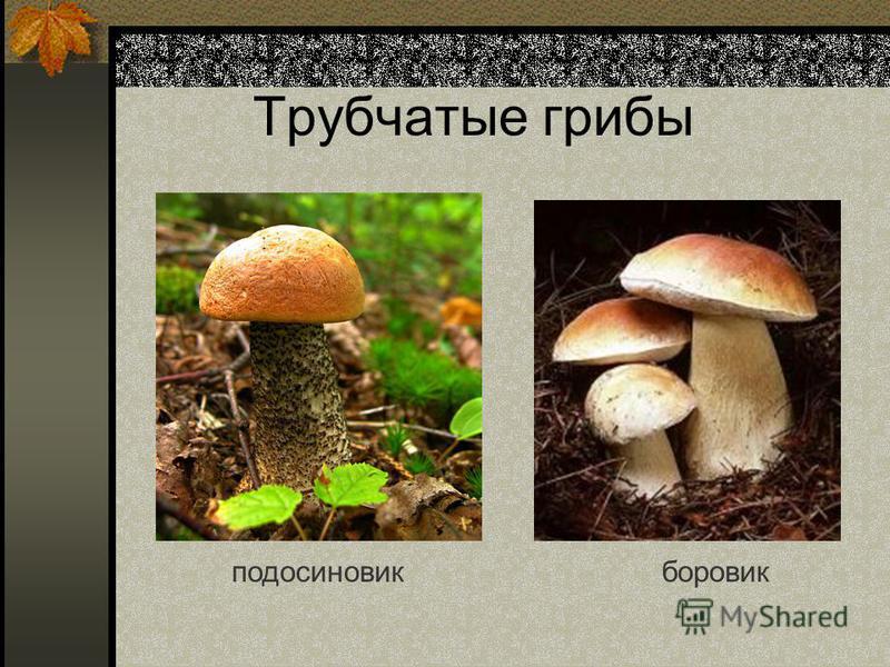 Трубчатые грибы подосиновик боровик