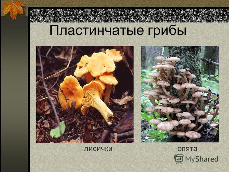 Пластинчатые грибы лисички опята