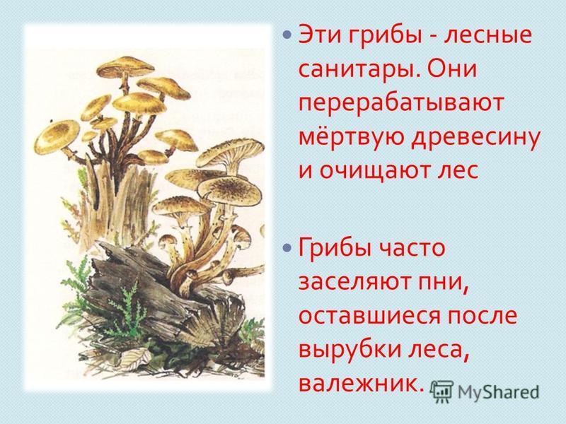 Эти грибы - лесные санитары. Они перерабатывают мёртвую древесину и очищают лес Грибы часто заселяют пни, оставшиеся после вырубки леса, валежник.