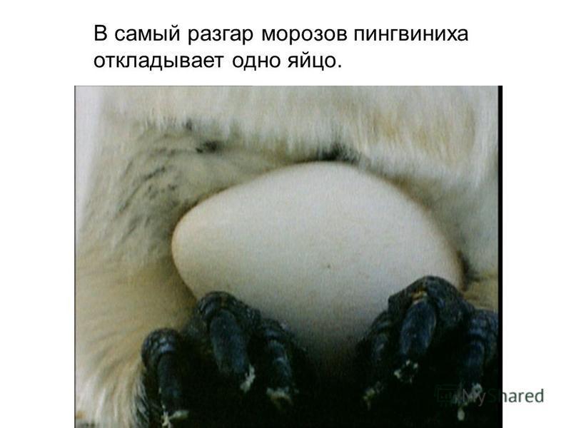 В самый разгар морозов пингвиниха откладывает одно яйцо.