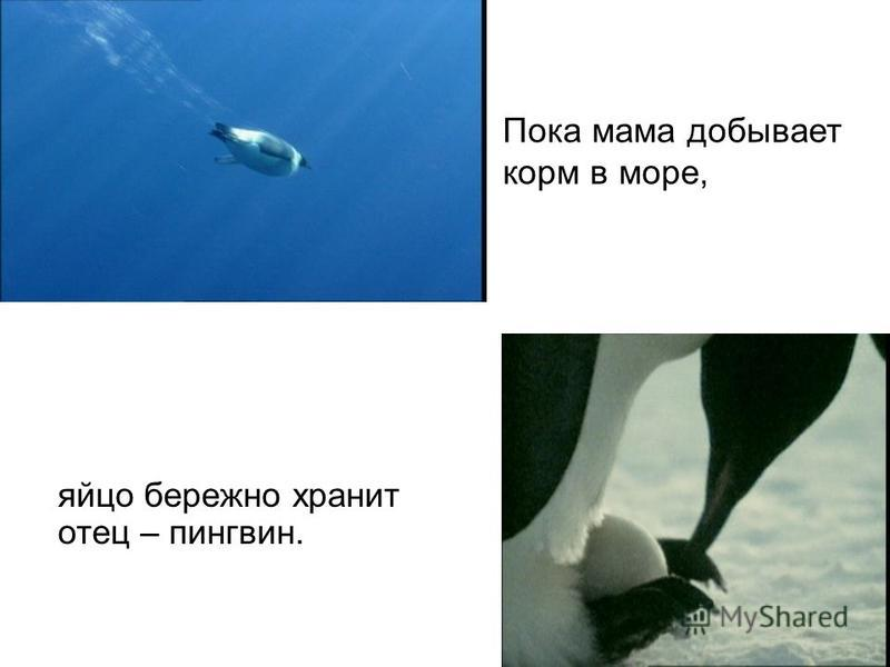 яйцо бережно хранит отец – пингвин. Пока мама добывает корм в море,
