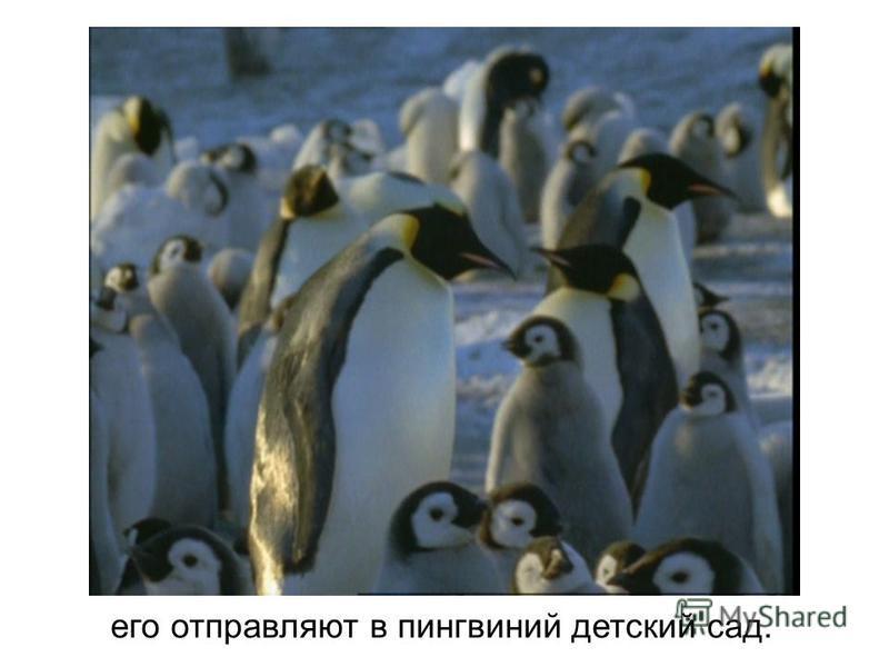 его отправляют в пингвиний детский сад.