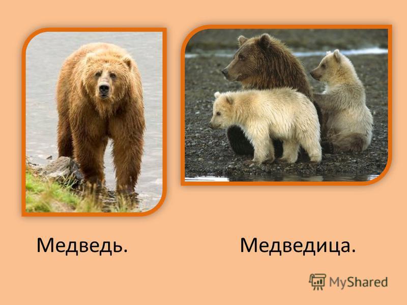 Медведь.Медведица.