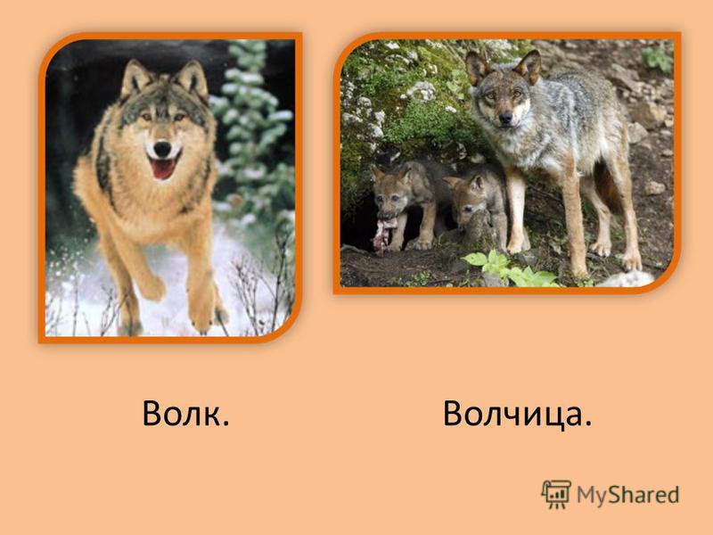 Волк.Волчица.