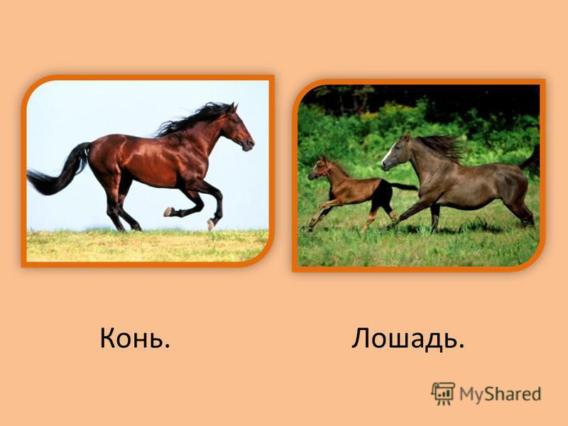 Конь.Лошадь.