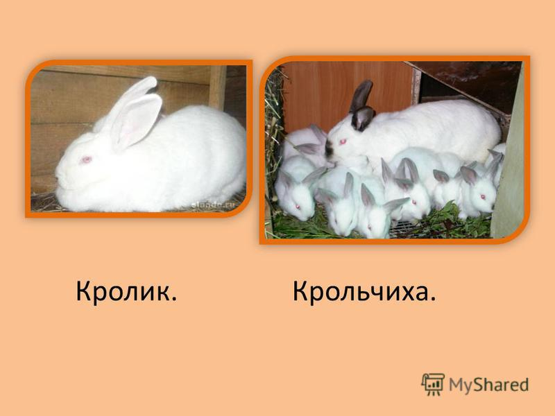 Кролик.Крольчиха.