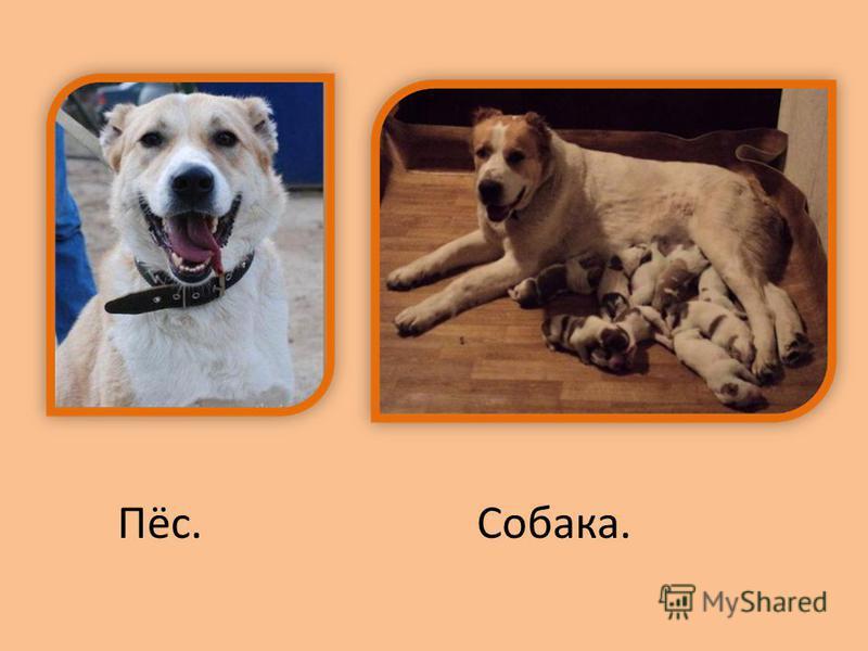 Пёс.Собака.
