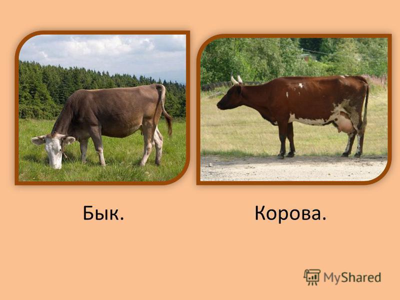 Бык.Корова.