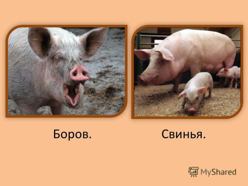 Боров.Свинья.