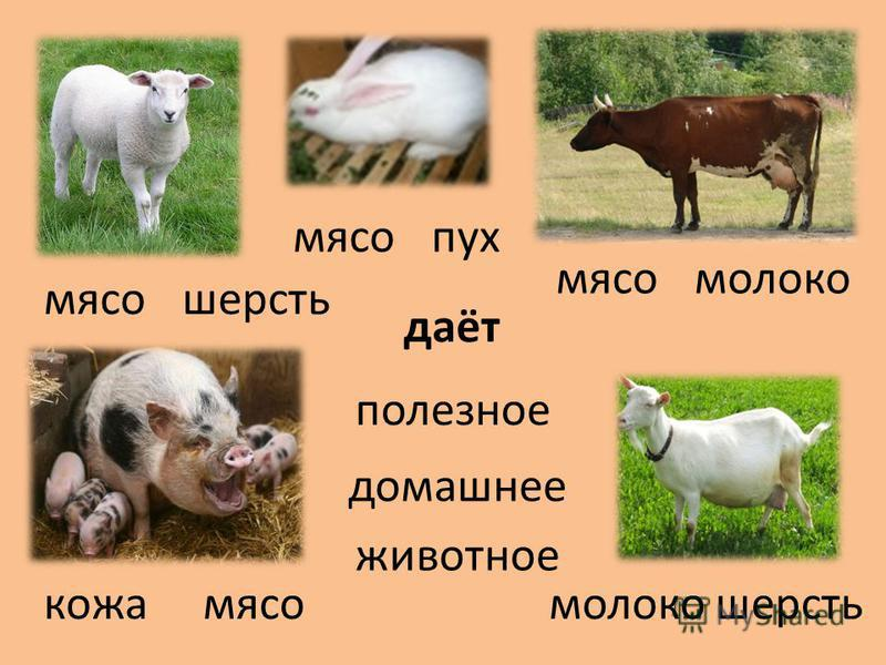 даёт шерсть молоко мясо шерсть кожа домашнее полезное молоко мясо пух мясо животное