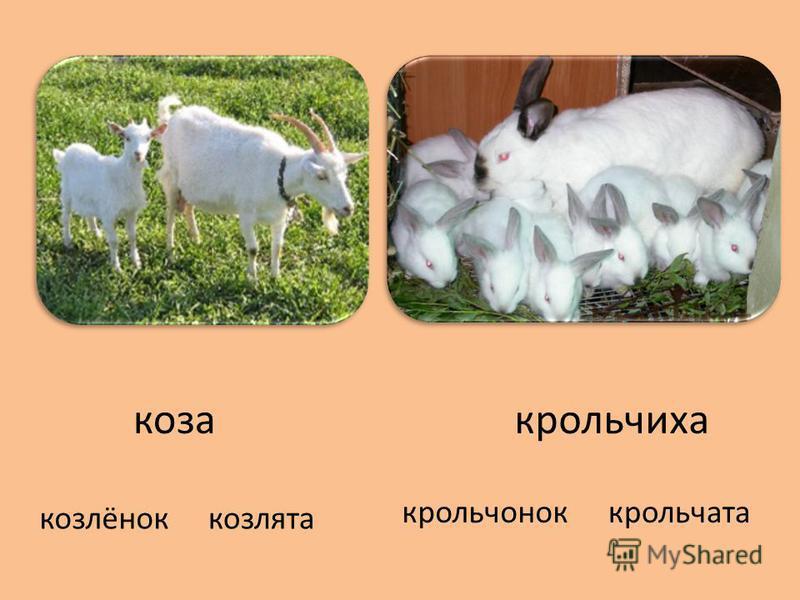 коза крольчиха козлёнок козлята крольчонок крольчата