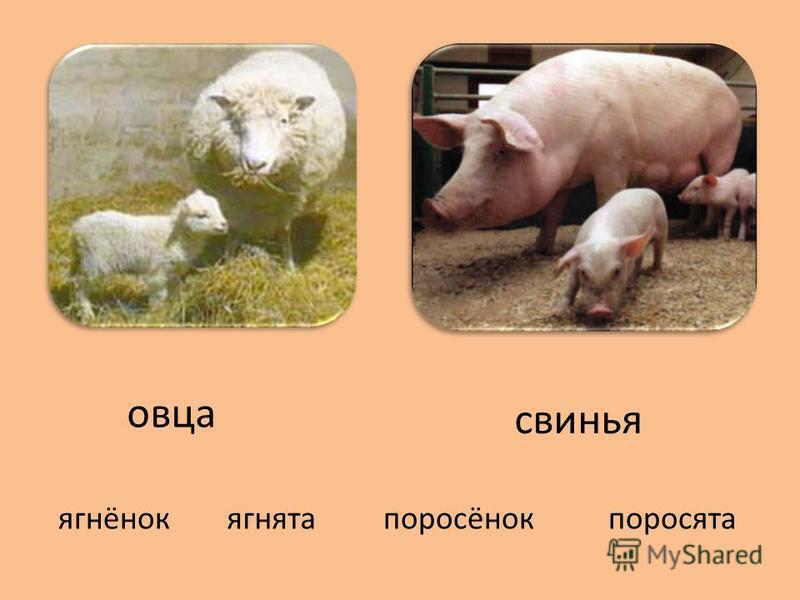 свинья овца ягнятаягнёнокпоросёнокпоросята