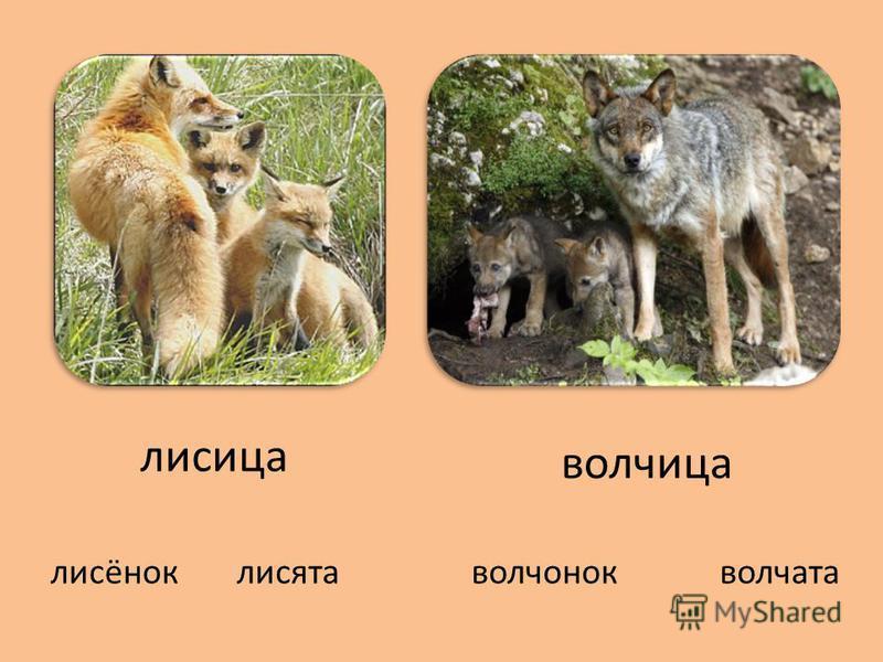 лисица волчица лисёноклисятаволчонокволчата