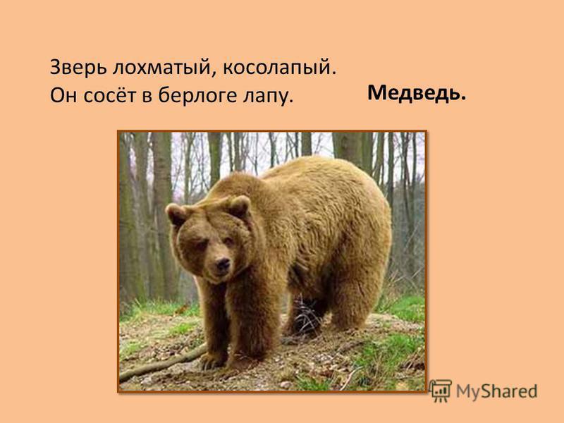 Зверь лохматый, косолапый. Он сосёт в берлоге лапу. Медведь.
