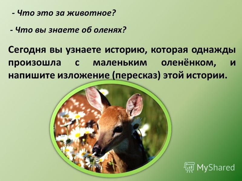 - Что это за животное? - Что вы знаете об оленях? Сегодня вы узнаете историю, которая однажды произошла с маленьким оленёнком, и напишите изложение (пересказ) этой истории.