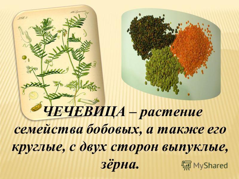 ЧЕЧЕВИЦА – растение семейства бобовых, а также его круглые, с двух сторон выпуклые, зёрна.