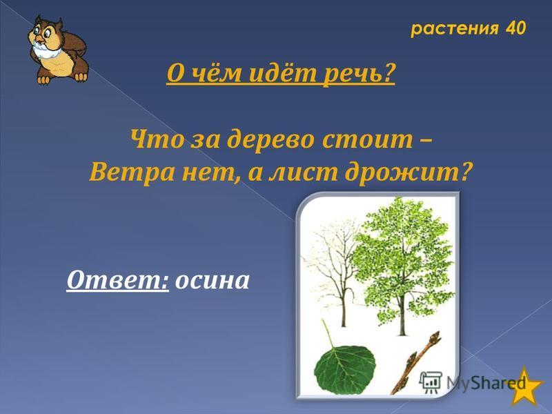 растения 40 О чём идёт речь? Что за дерево стоит – Ветра нет, а лист дрожит? Ответ: осина