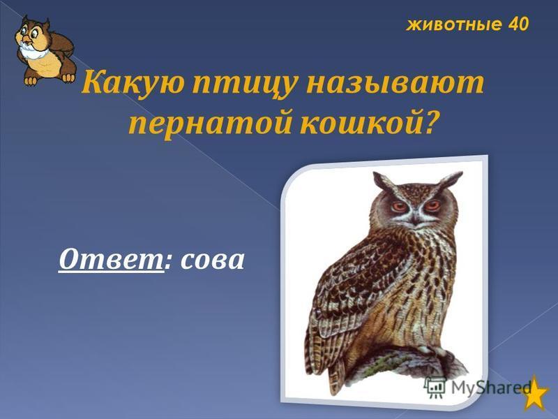 животные 40 Какую птицу называют пернатой кошкой? Ответ: сова